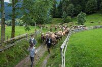 Festakt mit Tradition: Viehscheid in Pfronten