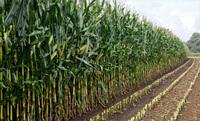 Aktuelle AGRAVIS-Tipps für eine gute Maissilage
