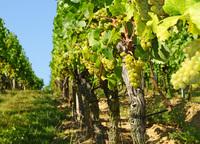 Weine mit Tradition, Nachhaltigkeit und Qualität: Bettina Moore über den Online-Weinhandel Genieße Wein und das österreichische Traditionsweingut Doll