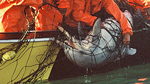 Südafika: Hainetze bedrohen seltene Delfinart