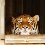 Fünf sibirische Tiger bald heimatlos?