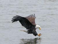 Winterzeit ist Adlersaison am Mississippi
