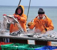 Hering satt: Rügener Fisch(er)tage bieten aber weitaus mehr
