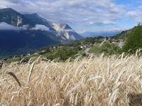 Roggen: einst das wichtigste Brotgetreide der Alpen