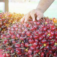 Nur noch nachhaltiges Palmöl für den EU-Markt