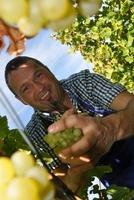 Im Schenna Resort/Südtirol helfen Gäste bei der Weinlese