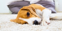 Ein Beagle bringt Leben in die Bude!