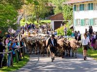 2017 in Pfronten die erste große Viehscheid des gesamten Allgäus feiern