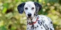Der Dalmatiner - ein Modehund?