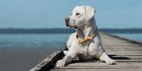 WelcherName Portrait: Hunderasse Labrador