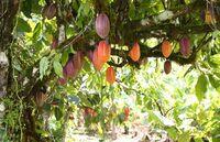 Nachhaltiger Kakaoanbau pro Walderhalt