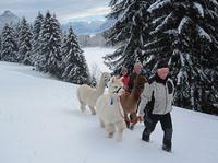Mit flauschigen Exoten auf tierischer Schnee-Schuhtour in Pfronten