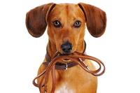 Hunderassen: Warum leben kleine Hunde länger als große?
