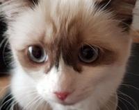 Ragdoll - die Katze für alle Fälle