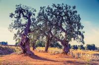 Apuliens Olivenöl - italienisches Öl  ausgezeichneter Qualität