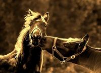 Informationen über Pferderassen