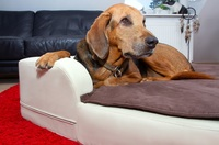 Arthrose bei großen Hunden