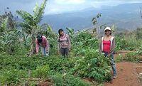 showimage Mehr Bildung, mehr Hygiene, bessere Arbeitsbedingungen: GKS fördert kolumbianische Biobauern