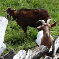 Ziegenglocken aus Regau (OÖ) läuten auf polnischen Weiden.