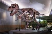 Mit 67 Millionen Jahren lebendiger denn je: Tyrannosaurus-Rex Sue auf Jagd im Field Museum