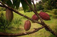 Nachhaltiger Kakao ist Umweltschutz