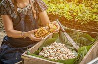 Kakao-Produktion unter fairen Bedingungen