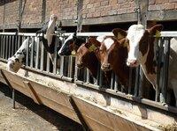 Milchviehrationen müssen an die Klimaveränderung angepasst werden
