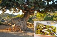 Kulinarische Entdeckungsreise durch die Region Kreta