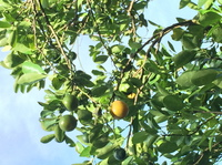 tropextrakt bietet neue exotische Spezialität als feine Zutat für Lebensmittel und Getränke