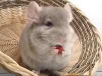 Informationen über Chinchillas und weitere Kleintiere