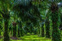 Zertifizierter Palmölanbau schützt den Regenwald