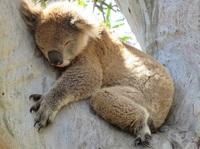 Tipps vom Koala zum Tag des Schlafes (21.6.) - Schlafexperte rät: Aufmerksamkeit vom Schlafen weglenken