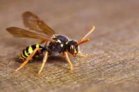 Was tun bei einem Wespen- oder Bienenstich? - Tipp der Woche der DKV