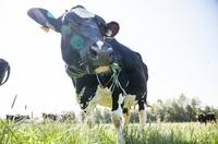 """Mit LEERDAMMER® auf die Weide: Die Käsemarke engagiert sich mit """"Initiative für Weidehaltung"""" für mehr Tierwohl"""