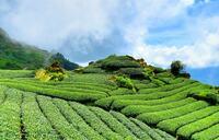 Es grünt so grün auf Indiens Teeplantagen