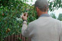 Die Mär vom Mundraub: Obstklau ist Diebstahl