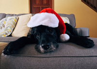 Diese Weihnachtsköstlichkeiten sind für Hunde tabu
