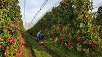 Pink Lady® sucht Paten für Apfelbäume