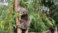 Vielversprechende Prognosen zum Wild Koala Day am 3. Mai