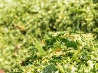Zweitfruchtmaisanbau als Alternative für knappe Futterversorgung