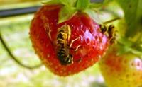 Mückenstich und Wespengift