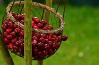 Vom Baum in die Tasse: Mit Kirschtee erfrischt durch die Sommerzeit