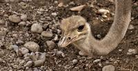 Vogel Strauß nach Mahnbescheid?