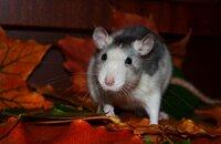Tipps um Rattenbefall im Herbst erfolgreich zu verhindern