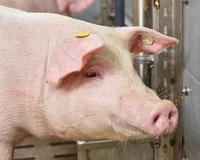 AGRAVIS: Ökoeffiziente Schweinefütterung per Knopfdruck