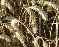 AGRAVIS-Experte Bernhard Chilla analysiert das Getreideangebot 2020/21