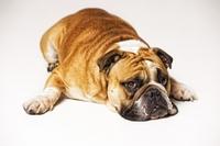 Ohne Hundekrankenversicherung ist Bello nicht glücklich