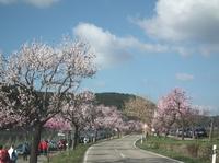 Die Weinstraße blüht rosa - traumhaftes Gimmeldinger Mandelblütenfest