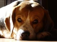 Hundehaftpflichtversicherung: Verursacht Bello einen Unfall im Straßenverkehr, wird es richtig teuer