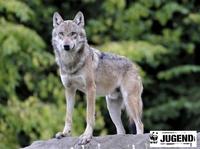 Mit dem WWF den Wölfen auf der Spur
